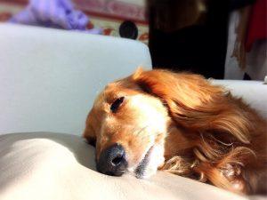 寝ているダックスフンド